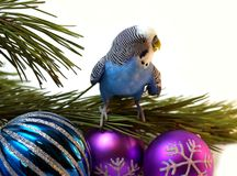 Blue parrot on fir tree, Christmas. Royalty Free Stock Image