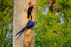 Blue parrot in green tropic forest. Big blue parrot Hyacinth Macaw, Anodorhynchus hyacinthinus, in tree nest cavity, Pantanal, Bra. Zil, South America. Nesting stock photo