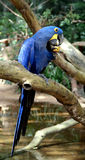 Blue Parrot. Hyacinth macaw, Brazilia Royalty Free Stock Photo