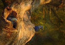 Blue parrot Hyacinth Macaw in nest tree in brazil Pantanal Royalty Free Stock Photo