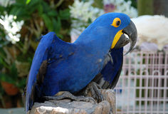 Blue parrot macaw Stock Images