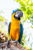 Blue parrot macaw Royalty Free Stock Photo