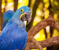 Blue Parrot Stock Images