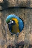 Blue parrot macaw in a tree stock images
