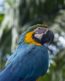 Blue parrot. The picture was taken in Russia Stock Photo