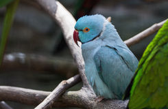 Blue parrot Royalty Free Stock Photos