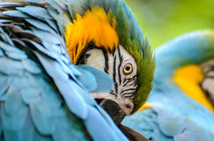 Blue Parrot Portrait. Blue, Orange, Green, and White Parrot Portrait Royalty Free Stock Photo