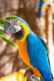 Blue Parrot portrait with yellow neck Royalty Free Stock Photography