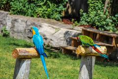 A PAIR OF BLUE AND GREEN PARROTS. royalty free stock photography