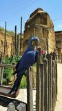 Blue parrot sitting on fence. Blue parrot with big curved beak and yellow eye and long tail sitting on fence in big out door aviary carved out of rock with blue Stock Photos