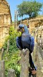 Blue parrot in outdoor enclosure Royalty Free Stock Photos