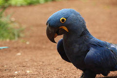 Blue parrot walking on ground. And looking at camera Royalty Free Stock Image