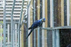 Blue  parrot in the zoo Stock Image