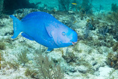 Blue Parrotfish. At French Reef in the Florida Keys Barrier Reef Royalty Free Stock Photos