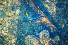 Blue parrotfish top view Royalty Free Stock Photography