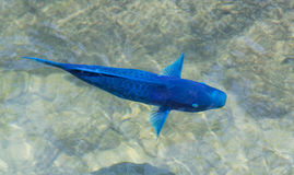 Blue Parrotfish Royalty Free Stock Image