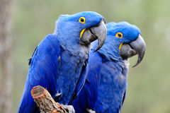 Blue Parrots Royalty Free Stock Photography