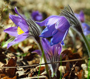 Blue pasqueflower Royalty Free Stock Photography