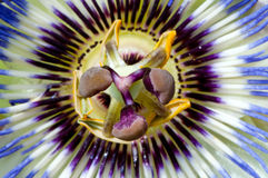 Blue Passiflora Royalty Free Stock Photo