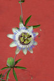 Blue passion flower Stock Photos