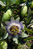 Blue passion flower with buds Royalty Free Stock Photography