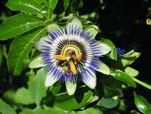 Blue passion flower, Passiflora caerulea. The blue passion flower is named after the color and structural elements of the blossom that symbolize the passion of stock image