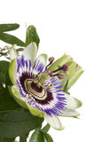 Blue passion flower Stock Photo