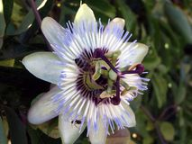Blue passion flower-Passiflora Royalty Free Stock Image