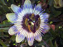 Blue passion flower-Passiflora Royalty Free Stock Photo