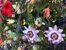 Blue passion flower-Passiflora Royalty Free Stock Photography