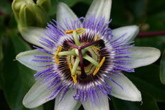 Blue Passion Flower Stock Photography