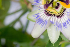 Blue passionflower Royalty Free Stock Image