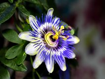 Blue passionflower - Passiflora caerulea.  royalty free stock photography