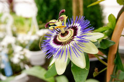 The blue passionflower. Passiflora caerulea, the blue passionflower, bluecrown passionflower or common passion flower. Flower is surmounted by a corona of violet stock photography