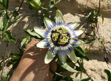 Blue passionflower, Passiflora caerulea. C, blue-crown passionflower, Brazilian passionflower, Passiflora caerulea, climber with deeply palmately lobed leaves stock photography