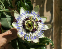 Blue passionflower, Passiflora caerulea. C, blue-crown passionflower, Brazilian passionflower, Passiflora caerulea, climber with deeply palmately lobed leaves royalty free stock images