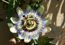 Blue passionflower, Passiflora caerulea Stock Photography