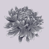 Blue  pastel colored chrysanthemum. Colored and lined chrysanthemum flower Royalty Free Stock Photography