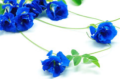 Blue Pea Stock Images