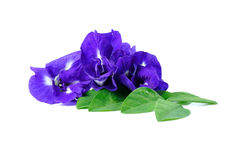 Blue pea butterfly pea close up on background Stock Image
