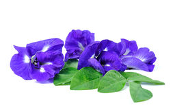 Blue pea butterfly pea close up on background Stock Photos
