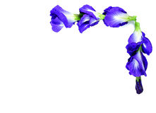 Blue pea butterfly pea close up on background Royalty Free Stock Photo