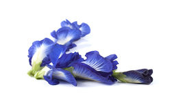 Blue pea butterfly pea close up background. Royalty Free Stock Photos