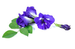 Blue pea butterfly pea close up background Stock Photography