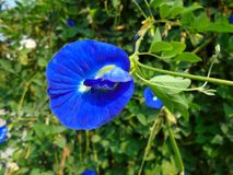 Blue pea flower Royalty Free Stock Photography