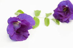 Blue pea flower isolated Stock Images