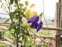 Blue Pea flowers on the tree stock images