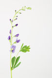 Blue pea-like baptisia flowers, leaves and stem Royalty Free Stock Image