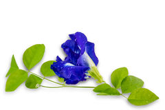 Blue pea on white background1 Stock Images