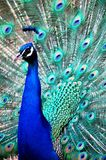 Blue peacock. This images shows a beautiful peacock Stock Image